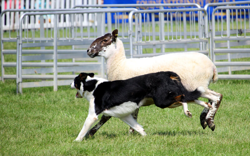 Border collie and sheep at top Maine festival