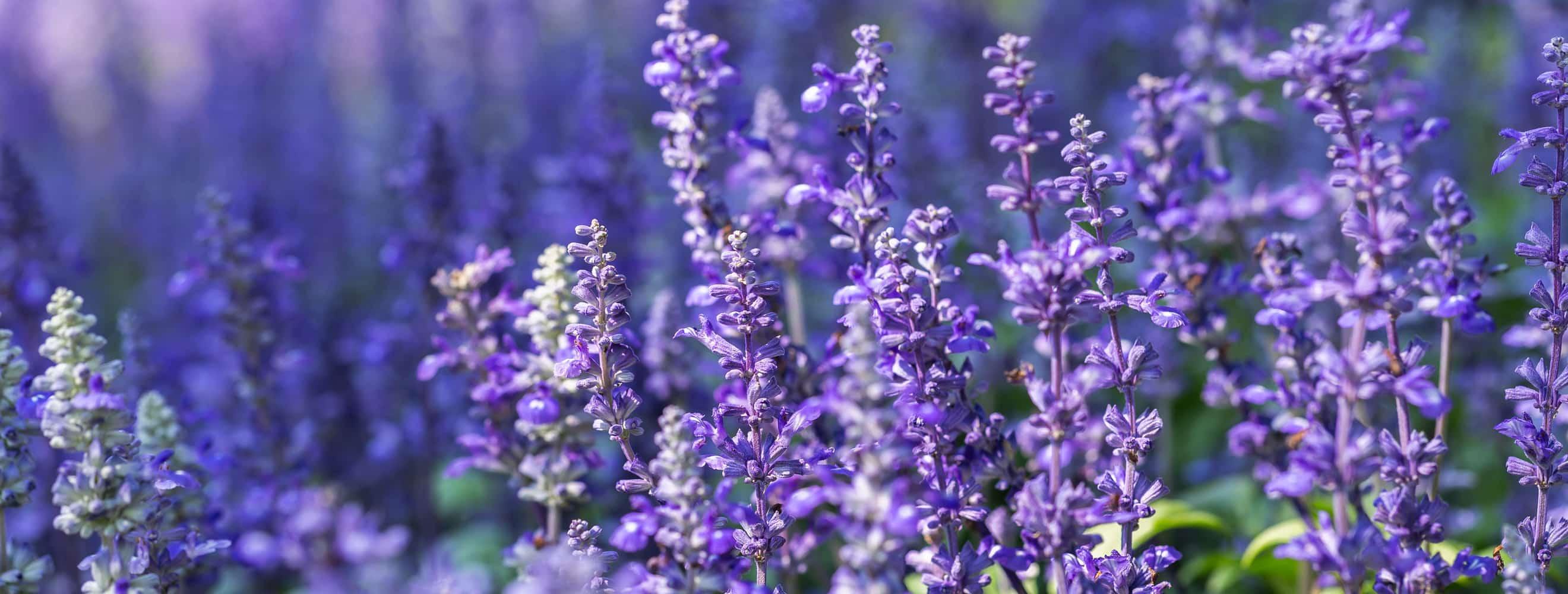 Small purple spring flowers in bloom