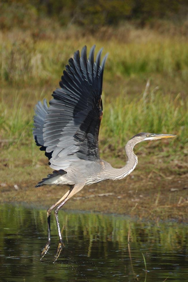 Sears Island Great Blue Heron