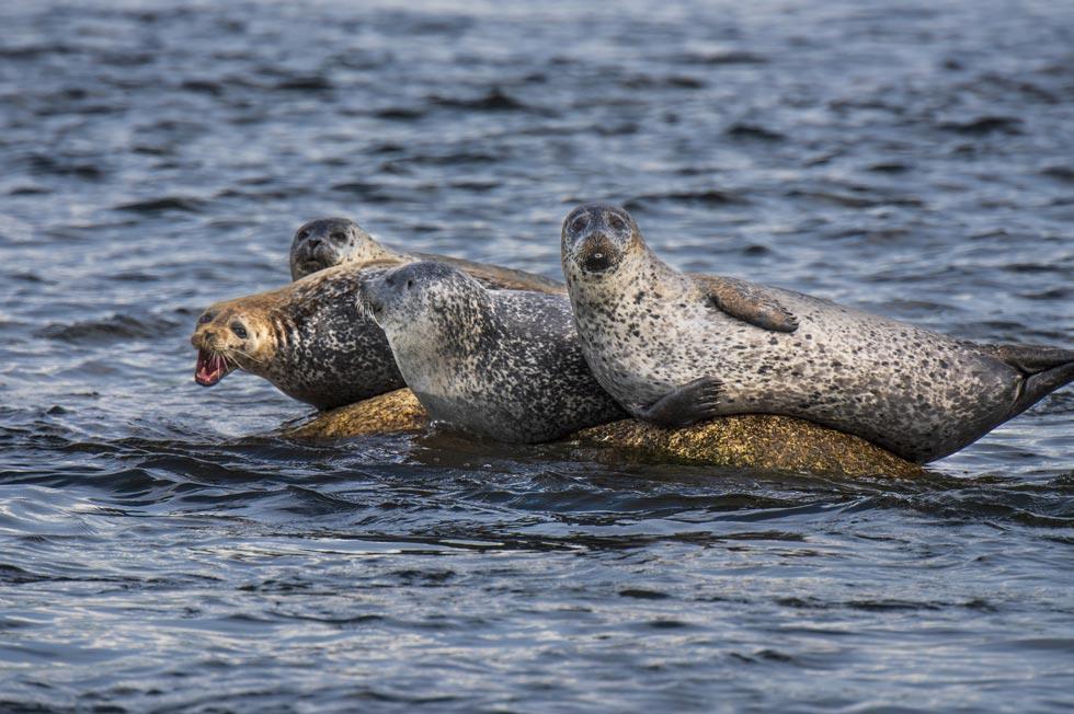 Sears Island Harbor Seals