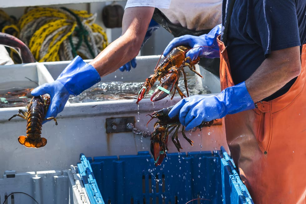 sorting lobsters on a Maine Lobster Boat Tour