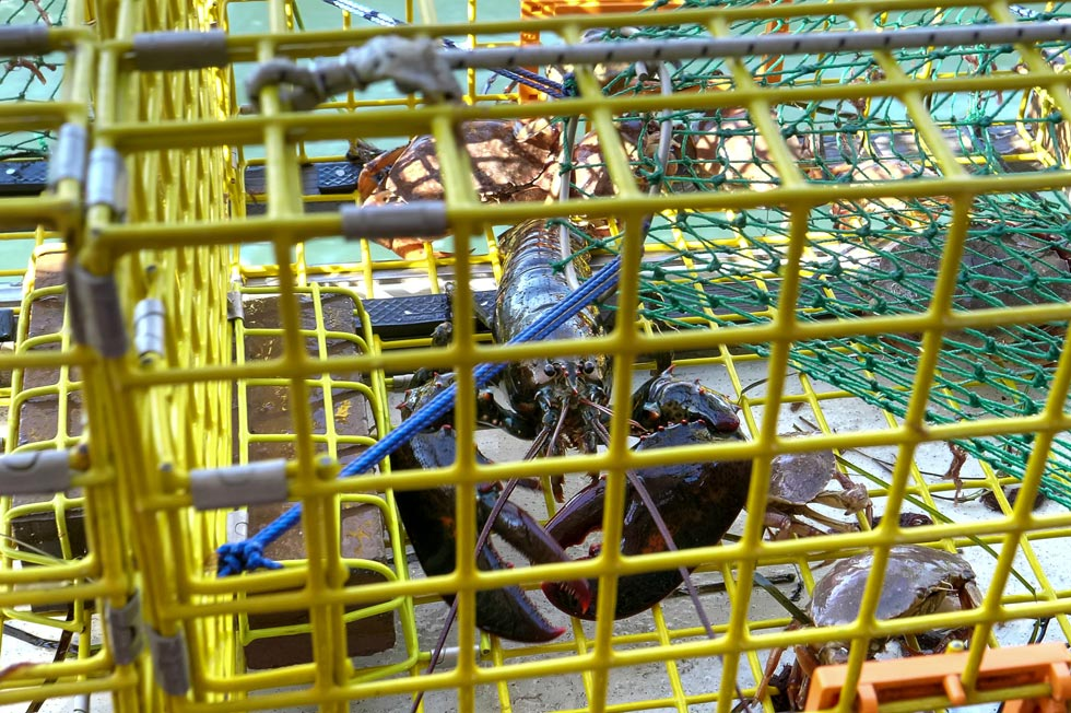 lobster in a trap on a Maine Lobster Boat Tour